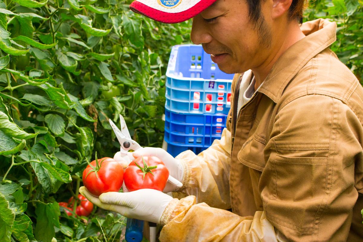トマト収穫後にすぐ発送します