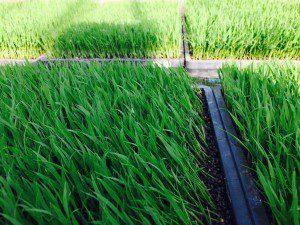 稲の苗踏み様子2