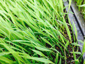 稲の苗踏み様子3