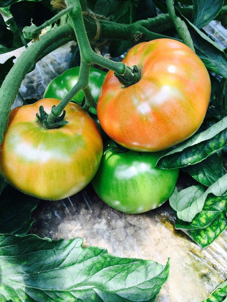 5月24日:いよいよトマトが赤く色づき始めました。