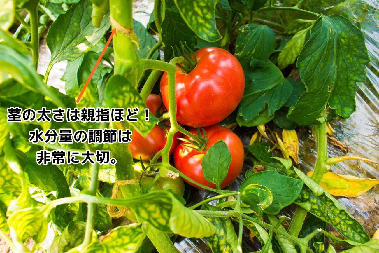 茎の太さは親指ほど、水分調節は非常に大切