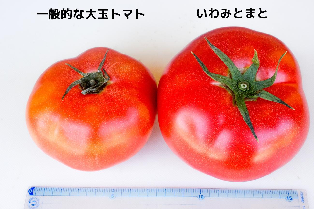 いわみとまとの平均直径は10cm。一般的なトマトの1.5倍の大きさです。