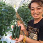 キュウリ風香2016収穫