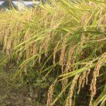 ファームスプリングボード稲刈り2016-2