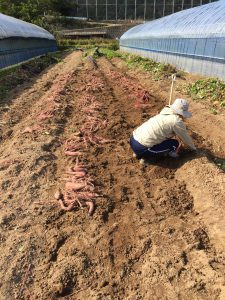 ファームスプリングボード芋収穫1