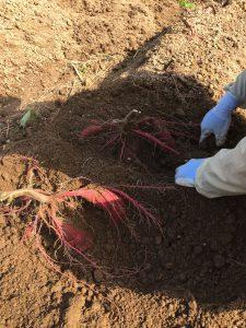 ファームスプリングボード芋収穫2