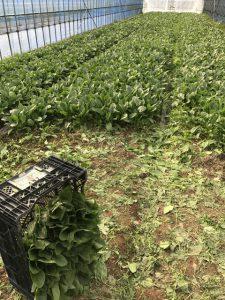 ファームスプリングボードほうれん草収穫3