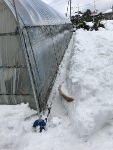 大雪ハウス除雪2