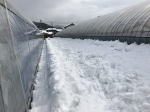 大雪ハウス除雪3