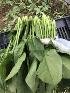 ファームスプリングボードほうれん草収穫