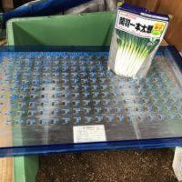 ファームスプリングボード白ネギ播種1